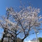 第一印刷桜
