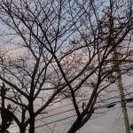 父が植えた染井吉野桜