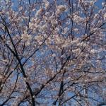 今日現在(3/30)の桜