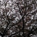 葉を付け始めた桜(4月8日)