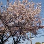 4月14日の桜